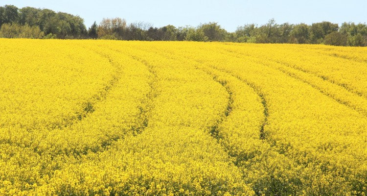 field-of-rapeseeds-1380239_1920