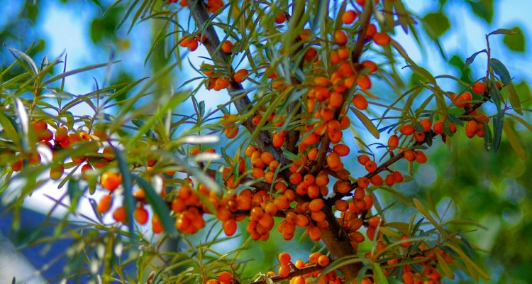 sea-buckthorn-3614961_960_720