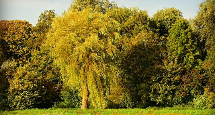 willow-3682968_960_720