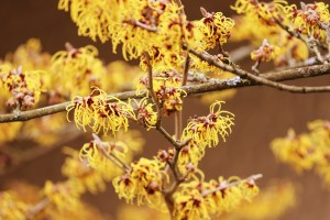 witch-hazel-3987738_960_720